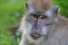 Free Monkey Royalty Free Stock Images - 15792869