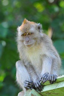 Free Monkey Royalty Free Stock Images - 15793019