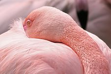 Free American Flamingo Stock Photography - 15793052