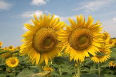 Free Sunflowers Stock Photos - 15793343
