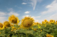 Free Sunflowers Stock Photo - 15793450