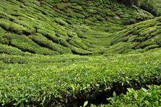 Free Green Malay Thea Fields Royalty Free Stock Photo - 15793825