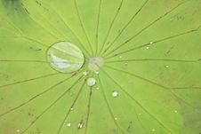 Free Green Lotus Leaf With Water Drop As Background Stock Photo - 15793860