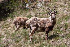 Free Capra Ibex - Italian Alps Royalty Free Stock Image - 15794216