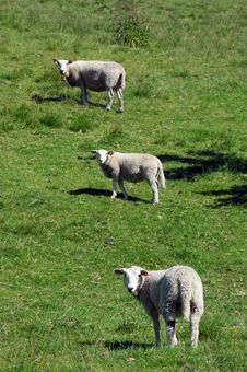 Sheep In Field Above Hardangerfjord, Norway Stock Images