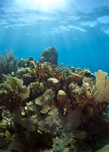 Underwater Coral Reef Elkhorn Coral Royalty Free Stock Photo