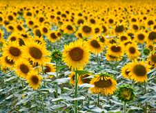 Free Sunflowers Royalty Free Stock Photography - 15795207