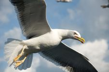 Free Curious Gull Royalty Free Stock Photo - 15795535