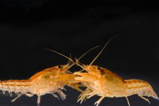 Free Two Mexican Dwarf Orange Crayfishes Fighting Royalty Free Stock Photo - 15795735