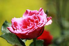 Free Pink Rose Stock Images - 15795814