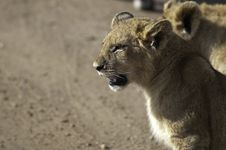 Free Lion Cubs Royalty Free Stock Photos - 15795968