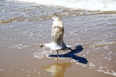 Free Seagull Stock Photography - 15797322