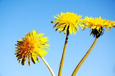 Free Yellow Dandelions Royalty Free Stock Photography - 15797397