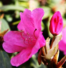 Free Blooming Red Rhododendron Stock Image - 15797411