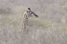Free Giraffe In The Bush Stock Photos - 15797663