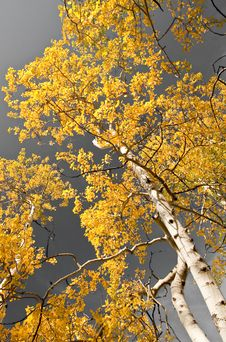Free Autumn Aspens Royalty Free Stock Images - 15798189