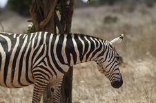 Free Zebra Royalty Free Stock Images - 15798209