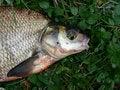 Free Fish Royalty Free Stock Photography - 1580227