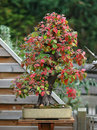 Free Quince Bonsai In Fall Royalty Free Stock Image - 1585406