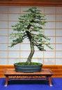 Free Engelmann Spruce Bonsai Royalty Free Stock Photo - 1586725