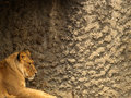 Free Lioness Stock Images - 1588194