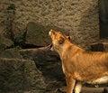 Free Yawning Lioness Stock Photo - 1588320