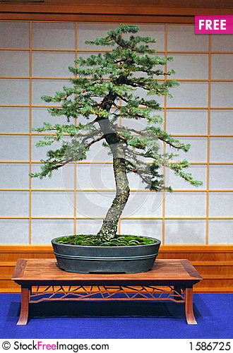 Free Engelmann Spruce Bonsai Royalty Free Stock Photo - 1586725