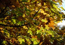 Free Autumn Foliage. Royalty Free Stock Photo - 1580885