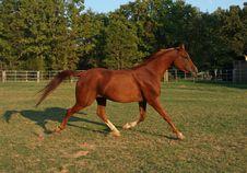 Arabian Gelding Royalty Free Stock Photo