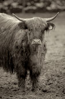 Free Highland Cow Royalty Free Stock Photo - 1582895