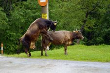 Naughty Cows Royalty Free Stock Image
