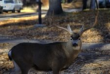 Mule Deer Stock Image