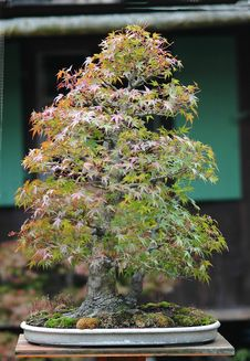 Free Japanese Maple Bonsai In Fall Stock Photos - 1585753