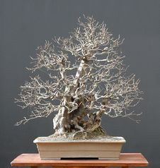 Free Chinese Quince Bonsai, Winter Silhouette Stock Photography - 1586962
