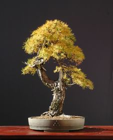 Free Larch Bonsai In Fall Stock Images - 1587014