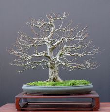 Free Linden Bonsai In Winter Stock Image - 1587371