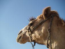 Free Camel Royalty Free Stock Photo - 1587745