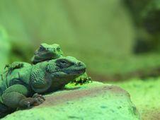 Free Chuckwalla Lizards Stock Photo - 1588140