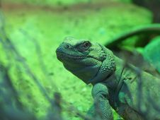 Chuckwalla Lizards Stock Photo
