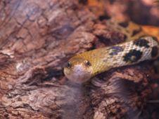 Free Rat Snake Royalty Free Stock Images - 1588169