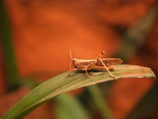 Free Grasshopper Royalty Free Stock Photography - 1588177