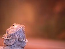 Free Thorny Lizard Royalty Free Stock Photos - 1588178