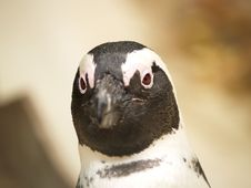 Free Penguin Stock Photography - 1588252
