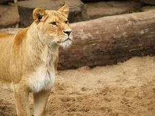 Free Lioness Royalty Free Stock Photos - 1588328