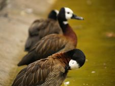 Free Ducks Stock Images - 1588334