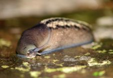 Free Slug On Wet Rock Royalty Free Stock Photography - 1588737