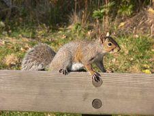 Free Squirrel. Stock Photo - 1588770