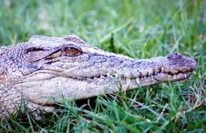 Free Crocodile - Closeup Royalty Free Stock Photos - 1589138