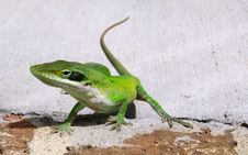 Free Green Anole Stock Photo - 1589590