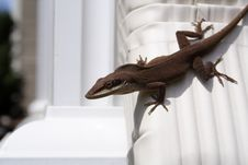 Free Brown Anole Stock Images - 1589594